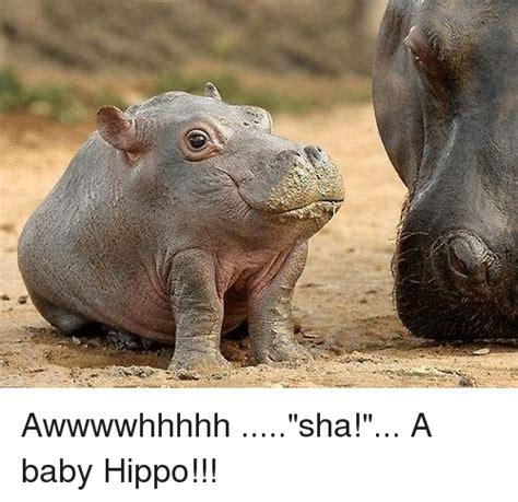 Baby Hippo Meme - awwwwhhhhh sha a baby hippo meme on me me