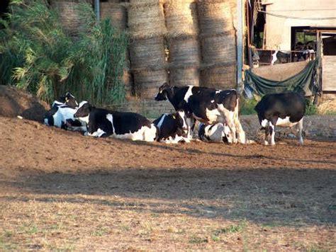 razione alimentare bovini da latte importanza dell alimentazione in particolare nella specie