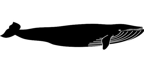 free vector graphic blue whale whale animal marine