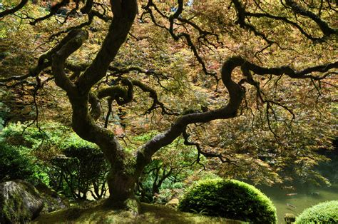 beautify worldwide the most beautiful tree in the world japanese garden