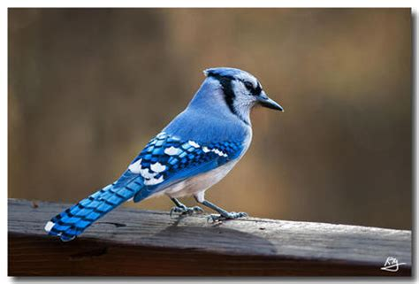 second life marketplace fullperm blue jay bird j 06