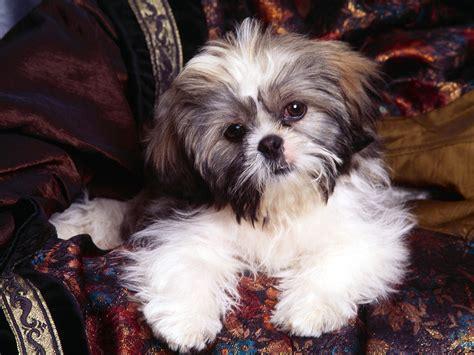 a shih tzu puppy dogs shih tzu