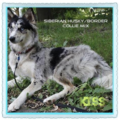 border collie husky mix puppies for sale best 25 border collie husky mix ideas on husky collie mix corgi shepherd