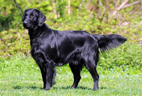 flatcoated retrievers the world flat coated retriever breeders puppies and breed information