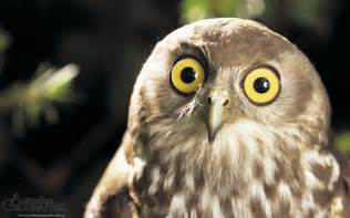 pictures of owls for owl medicine doowans news events