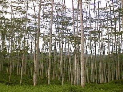 Bibit Sengon Buto pohon sengon