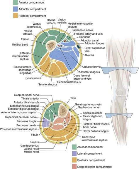 cross section leg knee and lower leg musculoskeletal key