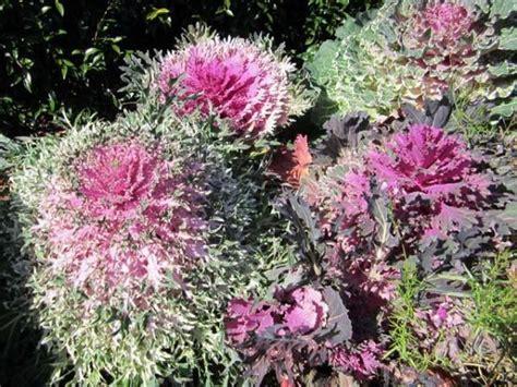 ornamental cabbage annual or perennial plant finder search results page 1 search criteria annual