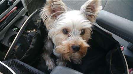 yorkie in car seat the best car seats for yorkie puppies and dogs