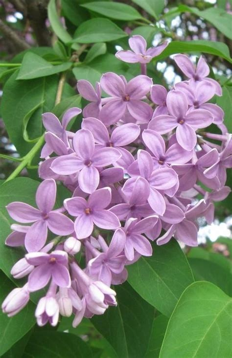 lilacs flowers lilac syringa flower flowers pinterest mom