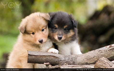 free sheltie puppies yaymicro free wallpapers for desktop background and wallpapers for mac and pc