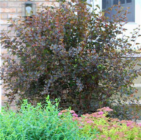 Garden Shrubs Plant Of The Month Physocarpus Opulifolius Diabolo