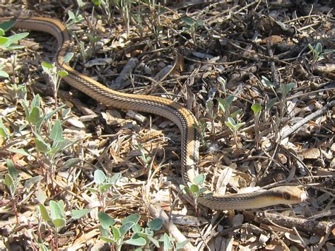 garden snake photograph  western patch nosed snake