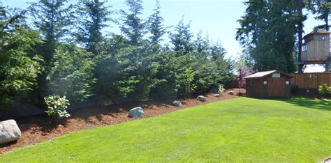 backyard privacy trees pine trees for backyard landscaping strigenz backyard looking west after backyard