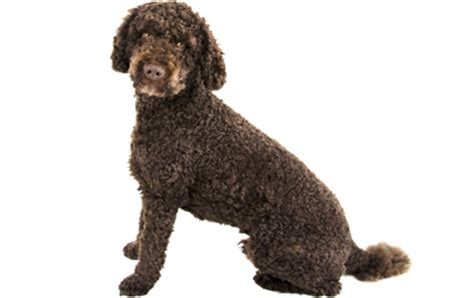 doodle span labradoodle guide breed temperament health canna pet