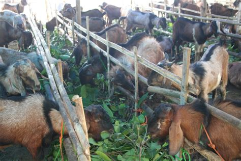 Fisiologi Nutrisi Ruminansia potensi peternakan kambing info peternakan