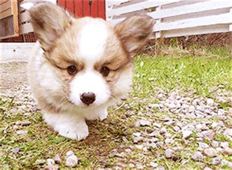 corgi puppies chicago adorable corgi puppy coming right at ya animated gif