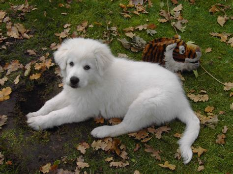 maremma puppy maremma sheepdog puppy photo and wallpaper beautiful maremma sheepdog puppy pictures