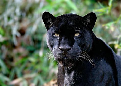 black panther animal desktop wallpaper black panthers animal pictures on animal picture society