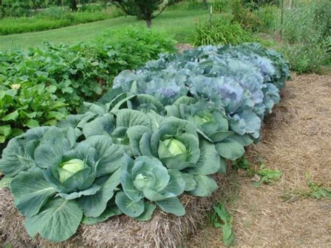 French Straw Bale Garden Grows Crops And Flowers On Urban Straw Bale Vegetable Garden