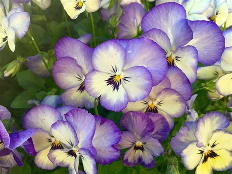fiori viola significato viola pensiero un fiore dal significato profondo