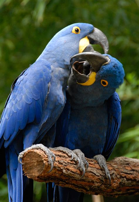 free flying hyacinth macaws dusty shutt s wildlife