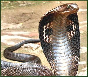 film ular cobra india bksempoi info dipatuk ular ketahui tindakan yang patut