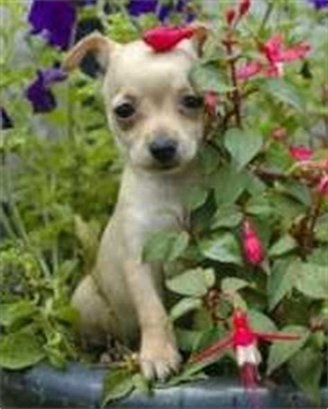puppy bladder age chart house a chihuahua helpful potty tips