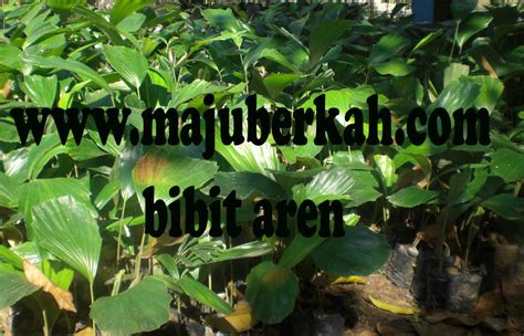 Jual Bibit Aren Di Riau bibit aren bibit tanaman aren jual bibit tanaman aren