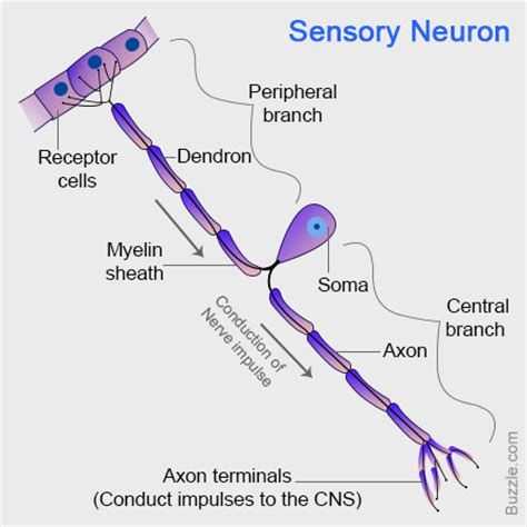 neuron diagram and functions location structure and functions of sensory neurons with