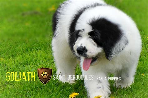 shipping puppies by air past panda and berdoodle puppies for sale