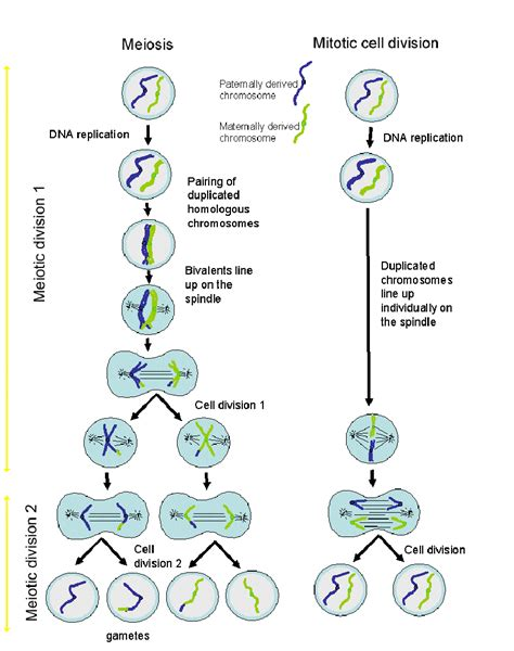 diagram with division cell division diagram anatomy picture reference and health news