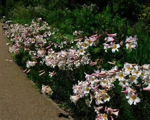 lilium regale gardensonline lilium regale