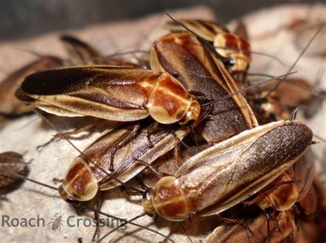 firefly mimic roach crossing