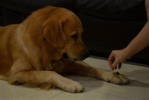 golden retriever paw problems golden retriever breed pictures 1
