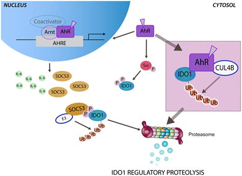 Controlling Definition frontiers ahr mediated non genomic modulation of ido1
