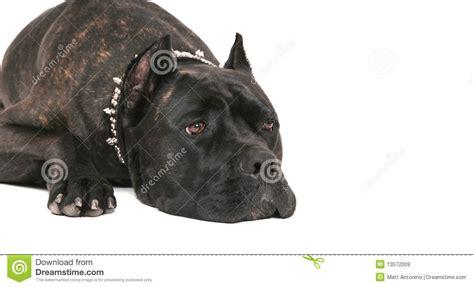 black mastiff puppy black mastiff royalty free stock images image 13572009