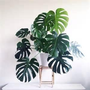 agréable Plante Verte D Interieur Facile D Entretien #5: plante-tropicale-interieur-monstera-deliciosa.jpg