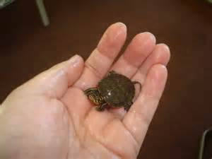 turtle in the bathtub song i a turtle his name is tiny tim sydnieann