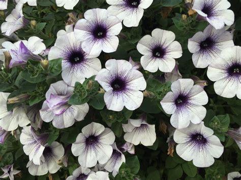 bunga telang putih