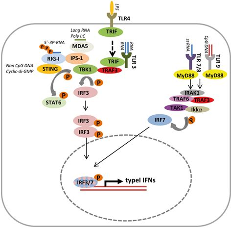 frontiers regulation of interferon gamma frontiers type i interferons as ambiguous modulators of