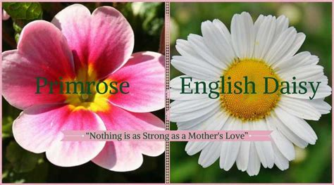 what does primrose symbolize 28 images primrose flower meaning ehow uk primroses