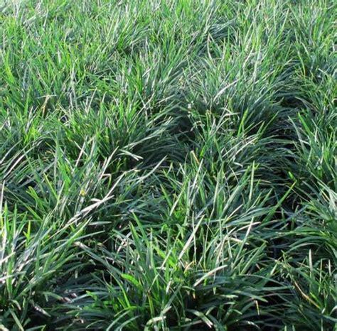 Tanaman Rumput Mini Kucai tanaman rumput kucai bangkok mondo grass bibitbunga