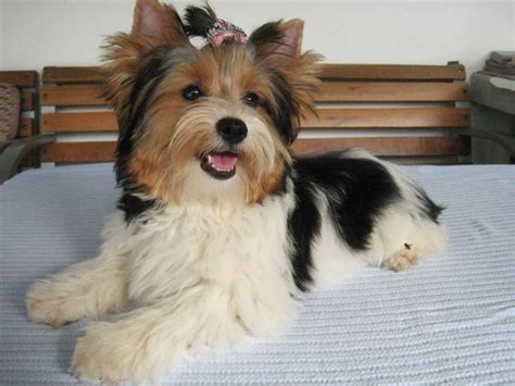 yorkie history biewer terrier history biewer terrier mostly