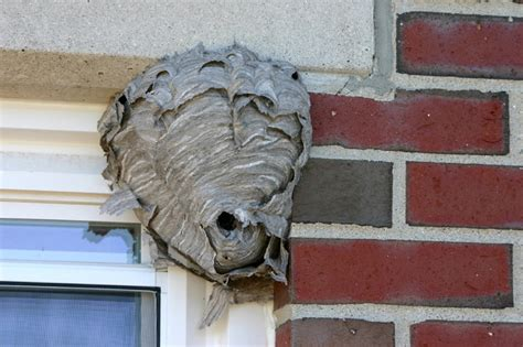 What Of Bees Make Paper Nests - wasp nest found in caboose o railroading on line forum