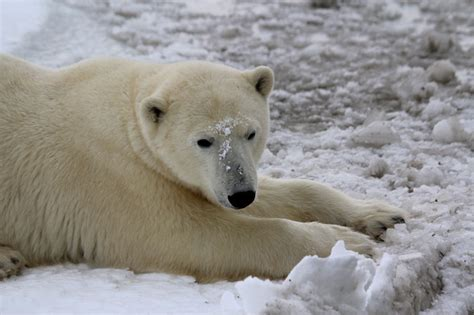 two polar bears in a bathtub hinterland who s who polar bear