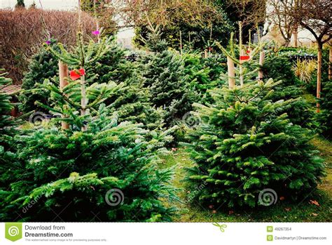 christmas trees stock photo image 49267354