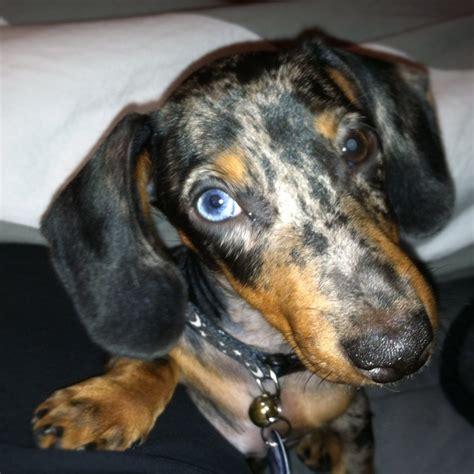 dapple dachshund puppies blue dapple dachshund puppies for sale breeds picture