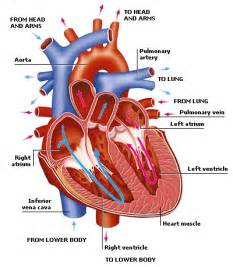 Circulatory System Essay by Respiratory And Circulatory System Reflection Essay Writing Service By Students