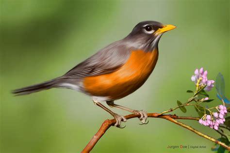 american robin bird flying www imgkid com the image